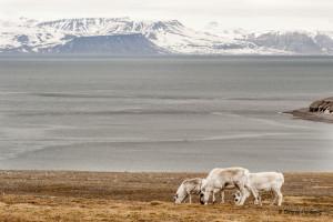 Svalbardsren