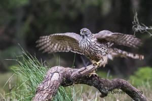 Landande duvhök