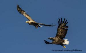 Flygande örn